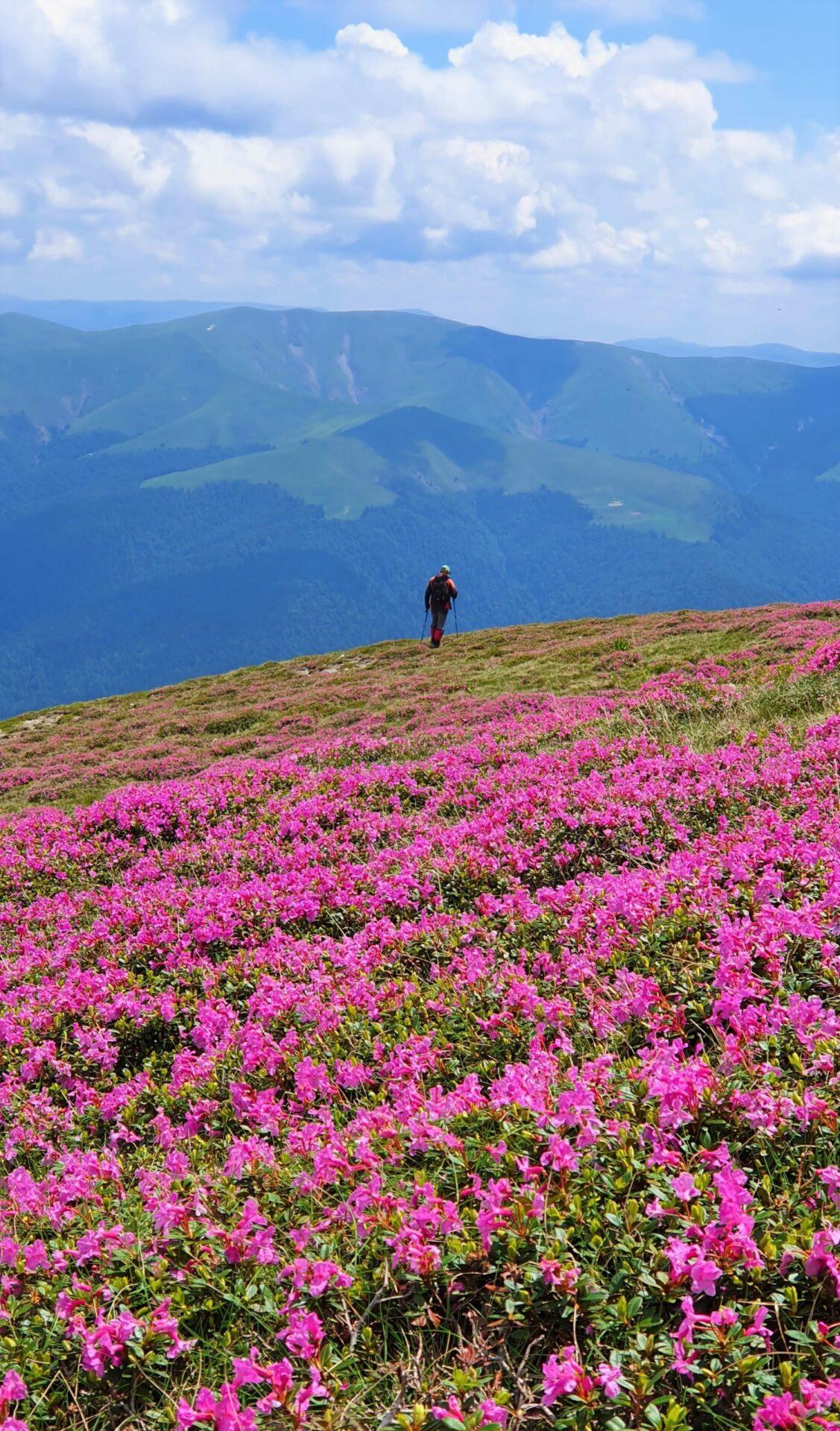 Vârful Furnica - bujori de munte