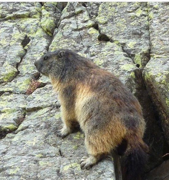 Marmota Transfăgărășan