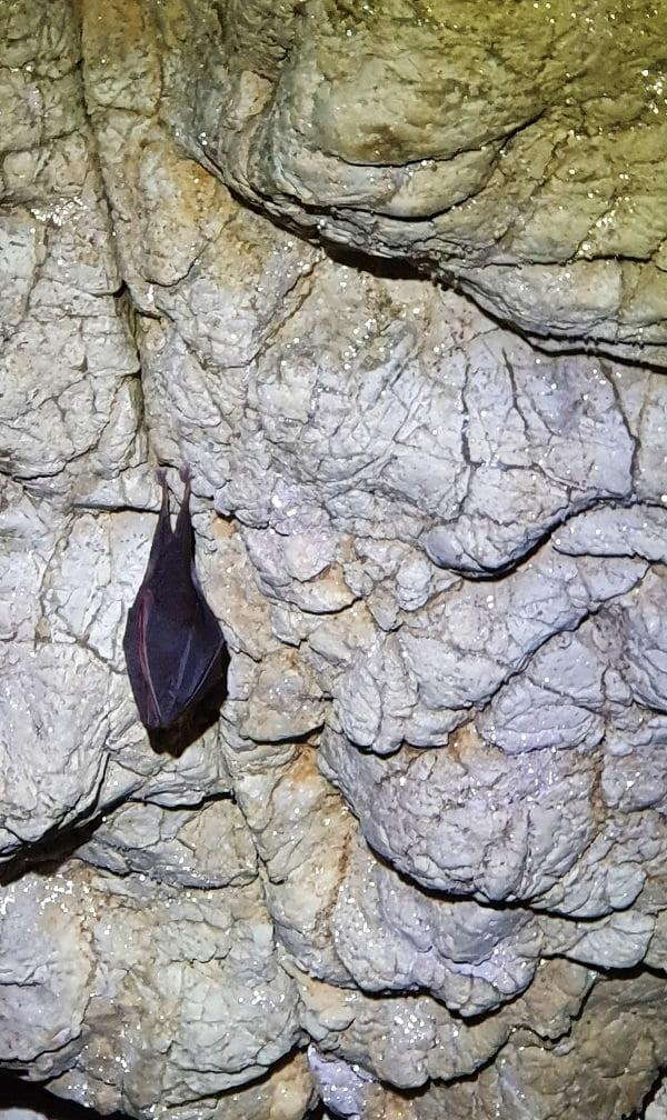 Liliacul cu potcoavă - Peștera Mare de Merești - Cheile Vârghișului